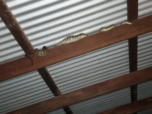 A child's python on my rafters after consuming a hare that was ten times the size of it's head.